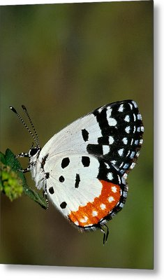 Red Pierrot Butterfly Metal Print by Anonymous