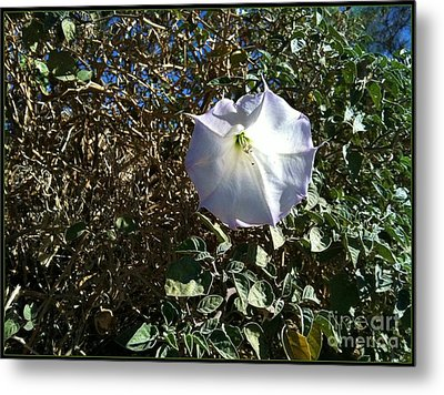 Metal Print featuring the photograph  Sacred Datura by Angela J Wright