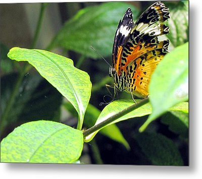 Metal Print featuring the photograph  Tiger Wings by Jennifer Wheatley Wolf