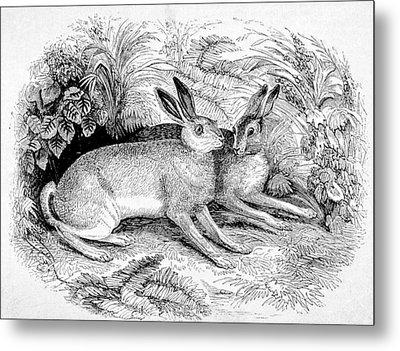 Two Hares Metal Print by Michael Dohnalek