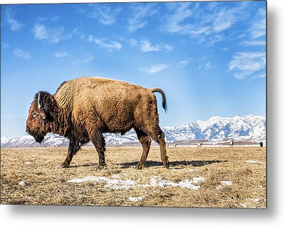 A Bison In The 24,700-acre National Elk Metal Print