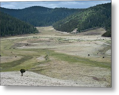 A Herd Of Yaks In Potatso National Park Metal Print by Tony Camacho