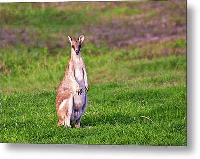 A Male Grey Kangaroos (macropus Metal Print