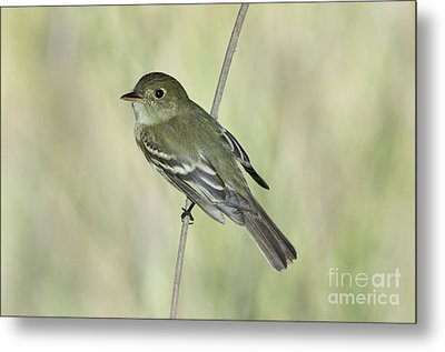 Acadian Flycatcher Metal Print by Anthony Mercieca