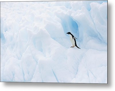 Adelie Penguin On Iceberg Metal Print by Suzi Eszterhas