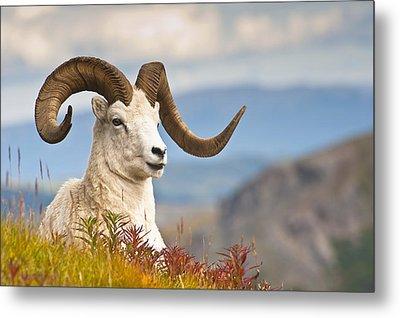 Adult Dall Sheep Ram Resting Metal Print by Michael Jones