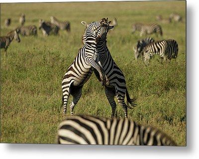 Africa, Tanzania, Serengeti National Metal Print by Joe and Mary Ann Mcdonald