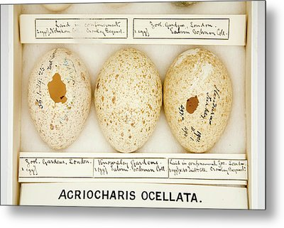 Agriocharis Ocellata Eggs Metal Print by Natural History Museum, London