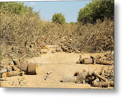Almond Groves Being Chopped Down Metal Print