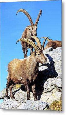 Alpine Ibex (capra Ibex Metal Print by Martin Zwick
