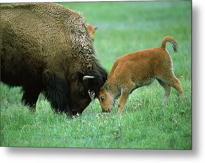 American Bison Cow And Calf Metal Print by Suzi Eszterhas