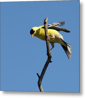 American Goldfinch Metal Print by Bob and Jan Shriner