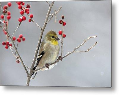American Goldfinch In Winter Metal Print by Scott Leslie