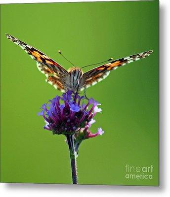 American Painted Lady Butterfly Metal Print by Karen Adams
