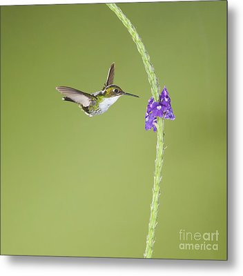 Metal Print featuring the photograph Andean Emerald Hummingbird by Dan Suzio