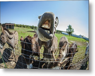 Animal Personalities Silly Talking Donkey With Whiskers Metal Print by Jani Bryson