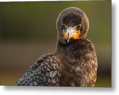 Another Cormorant Face Off Metal Print by Andres Leon