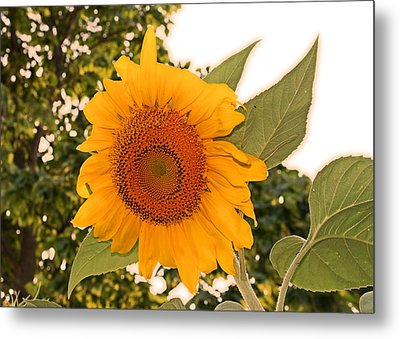 Another Sunflower Metal Print by Victoria Sheldon