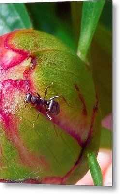 Ant On Peony Bud Metal Print by Barb Baker