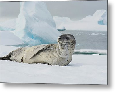 Antarctica Charlotte Bay Leopard Seal Metal Print