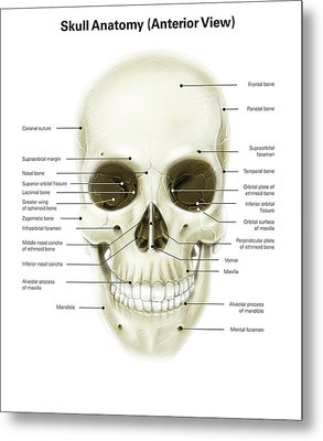 Anterior View Of Human Skull Metal Print by Alan Gesek