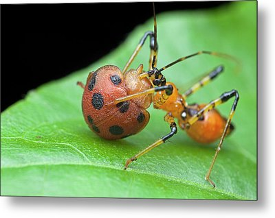 Assassin Bug Nymph Eating Ladybird Metal Print by Melvyn Yeo