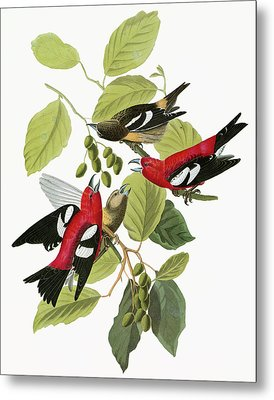 Audubon Crossbill Metal Print by Granger