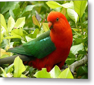 Metal Print featuring the photograph Australian King Parrot by Margaret Stockdale