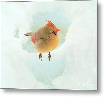 Baby Female Cardinal Metal Print