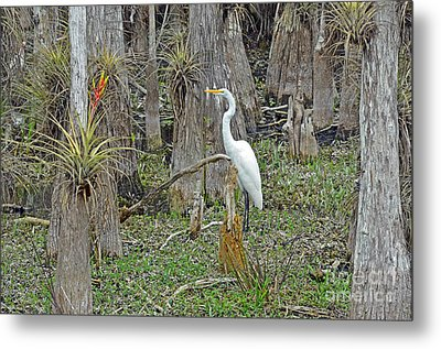 Bald Cypress Swamp With Great Egret Metal Print