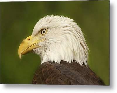 Metal Print featuring the photograph Bald Eagle  by Brian Cross