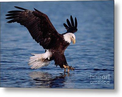 Bald Eagle Fishing Kenai Metal Print by Yva Momatiuk John Eastcott