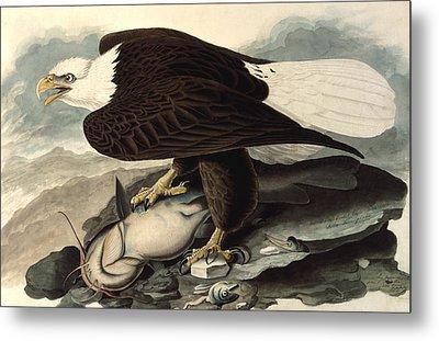 Bald Eagle Metal Print by John James Audubon