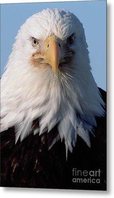 Bald Eagle Portrait Alaska Metal Print by Yva Momatiuk John Eastcott