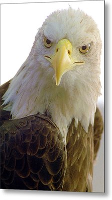 Bald Eagle Metal Print by Steve Archbold