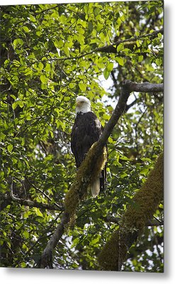 Bald Eagle Metal Print by Sylvia Hart