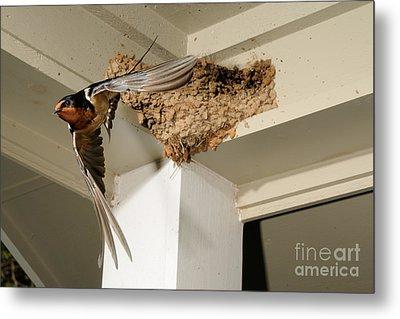 Barn Swallow Metal Print by Scott Linstead