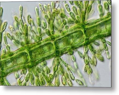 Batrachospermum Alga Filament Metal Print by Gerd Guenther