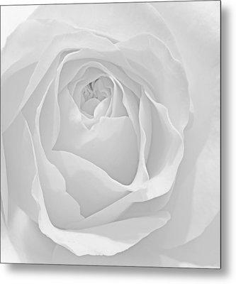 Beautiful Macro Close Up Of Fresh Sprring Rose Flower With Vibra Metal Print by Matthew Gibson