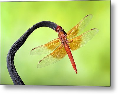 Big Red Skimmer Dragonfly Metal Print by Robert Jensen