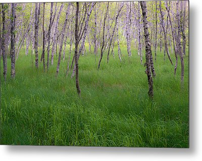Birch Trees In The Great Meadow, Acadia Metal Print by Panoramic Images