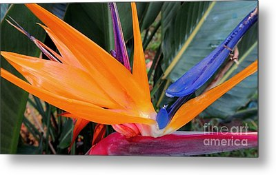Bird Of Paradise Metal Print by Kristine Merc