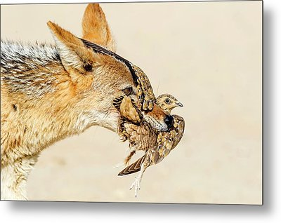 Black-backed Jackal Hunting Sandgrouse Metal Print by Peter Chadwick
