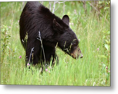 556p Black Bear Metal Print by NightVisions