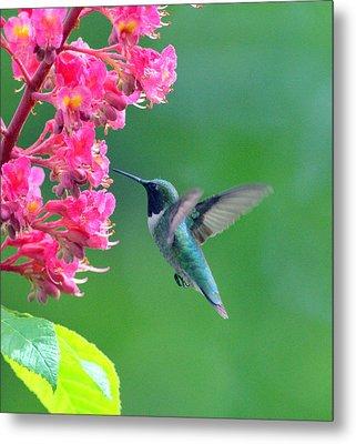 Black Chinned Hummingbird Metal Print