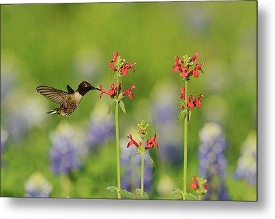 Black-chinned Hummingbird (archilochus Metal Print