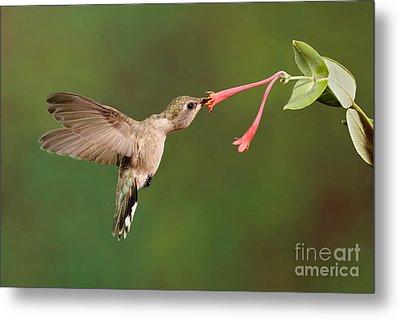 Black-chinned Hummingbird Metal Print by Scott Linstead