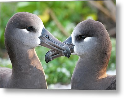 Black-footed Albatross (phoebastria Metal Print