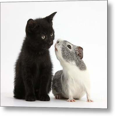 Black Kitten And Guinea Pig Metal Print