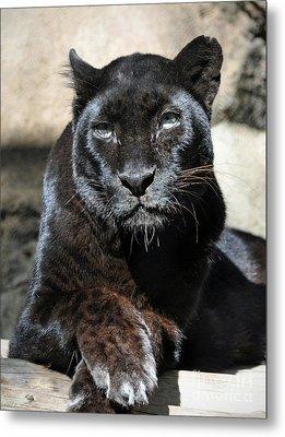 Black Leopard Metal Print by Savannah Gibbs